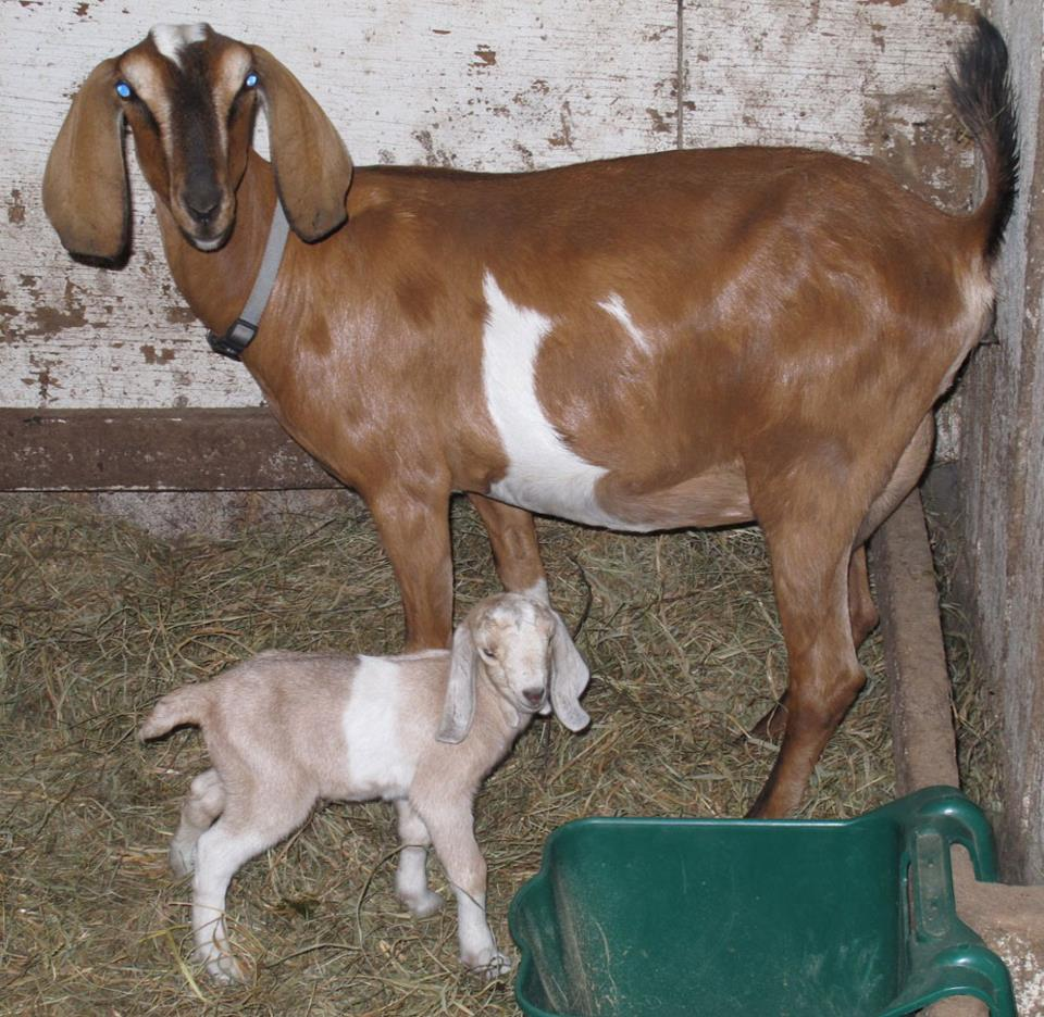 The goats at the E-15 Homestead: Mama Eleanor and baby Anna